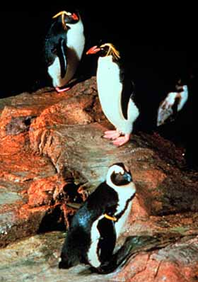 Rockhopper Penguins at the New England Aquarium in Boston